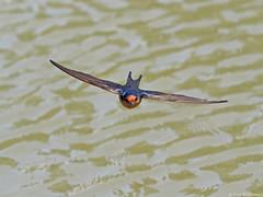 Welcome Swallow Wings open (Vas Smilevski) Tags: bird birds birding feathers australia nsw birdsinflight swallows bif penrith australianbirds westernsydney welcomeswallow hirundoneoxena mc14 olympusomdem1 mzuiko40150mmf28pro