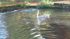 Weeeeeeeeeeeeeir! (rockwolf) Tags: bird water swan shropshire cygnet slide severn riversevern shrewsbury weir muteswan cygnusolor rockwolf
