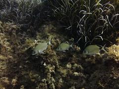 Breams, Xwejni Bay, Gozo (yayapapaya77) Tags: fish underwater diving malta fisch mediterraneansea gozo tauchen unterwasser mittelmeer brassen breams xwejnibay canonpowershotg15