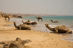 Camels strolling on a Qeshm beach, Qeshm Island, Iran (berengere.cavalier) Tags: old sea abandoned beach swim island sand iran rusty camel petrol shores stroll swiming oilplatform persiangulf qeshm ormuz petrolplatform iranianoil