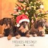 Felices Fiestas!! (ivannamontserrat) Tags: dog dogs puppy navidad perro merrychristmas nadal gos teckel bonnadal felicesfiestas navidad2015
