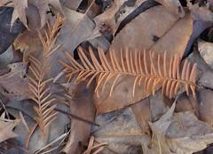 dawn redwood (sara_rall) Tags: brown fall leaf needle metasequoia dawnredwood thomaepark