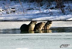 THE SUN WORSHIPPERS (Aspenbreeze) Tags: animal animals wildlife otter rodents otters wateranimals coloradowildlife aspenbreeze moonandbackphotography bevzuerlein