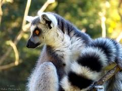 Lemur (Shakar Photography) Tags: lemur katta catta male animal park augsburg zoo tierpark september 2016 primate