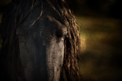 Staredown (Ryan Courson) Tags: horses horsesatliberty horse equinephotography friesian animals domesticanimals rcourson ryancoursonphotography ryancourson ryancoursonca