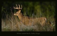 the monster buck - great light, stupid wind (Christian Hunold) Tags: whitetaileddeer whitetailedbuck whitetail deer buck weisswedelhirsch valleyforge pennsylvania christianhunold