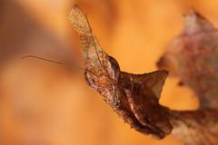 Phyllocrania paradoxa (ghost mantis) (Mr.Green038) Tags: ghost mantis paradoxa phyllocrania leaf insect canon 100mm wildlife africa