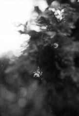 Keresztespk / Cross Orbweaver (brenkee) Tags: keresztespk crossorbweaver canon a1 rokkor minolta 50mm 14 freelensing ilford fp4 black white analog film filmisnotdead