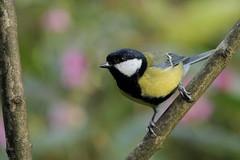 Got him without the robin (david.england18) Tags: greattit smallbirds various tits queensparkheywood birdsuk canon7d canonef300mmf4lisusm blue great coal