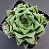 Haworthia 'Giza-Giza Heart' obtusa cv. (ex S.T.C./Netherland 81089, 09.04.2014) (igormilekhin) Tags: haworthia succulent leaf plant indoor cultivar japan gizagizaheart stc