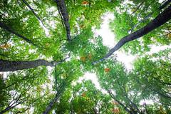 straight to heaven or again vertigo (Smo_Q - As long as you remember me, I'll never ..) Tags: tree poland pentaxk3ii emptiness autumn fall
