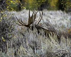 """Moose?  Nope, I Haven't Seen Any"" (Hawg Wild Photography) Tags: moose wildlife nature animal animals jacksonholewyoming grand teton tetons national park terrygreen hawg wild photography nikon nikond4s nikon200400vr"