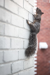Spider squirrel (Marie Berne) Tags: cureuil mur wall