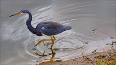 Tri-colored Heron Video (Jim Mullhaupt) Tags: tricoloredheron heron wader bird water pond lake swamp wildlife nature landscape background wallpaper outdoor bradenton florida nikon coolpix p900 jimmullhaupt photo flickr geographic picture pictures camera snapshot photography nikoncoolpixp900 nikonp900 coolpixp900 clip video blue purple white tricolored