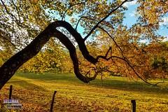 Cades Cove (The Suss-Man (Mike)) Tags: autumn cadescove fall fallcolors fence goldenhour greatsmokymountainsnationalpark nature northgeorgiaphotographyclub samsunggalaxys7edge smokymountains sonyslta77 sussmanimaging tennessee thesussman tree