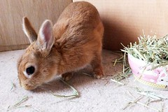 Ichigo san 478 (mensore) Tags:  rabbit bunny netherlanddwarf brown cute pet family ichigo