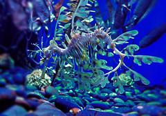 Leafy seadragon. Toronto, Canada   June 2016 (Temphotto) Tags: water leafydragon dragon seadragon underwater life cs5 high dynamic range hdr adobe photoshop software ripleys north america aquarium toronto canada