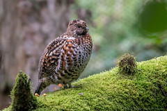 Hazelhoen-7275 (Esther van Rooijen) Tags: bayerischerwald animals wildlife