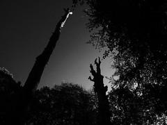 Trees (polletjes) Tags: trees tree bomen boom arbors arbor bos bois wood wald natuur nature donker dark black white zwart wit zwartwit licht light
