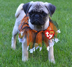 Boo The TY Beanie Baby Pug (DaPuglet) Tags: pug pugs dog dogs puppy puppies pet pets animal animals costume halloween beanie baby beaniebaby beanieboos boos ty tag collar ghosts