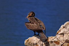 Karabatak (cormorant) (talipcetin) Tags: karabatak ku hayvan balk avcs cormorant fish hunter bird animal kayalk rocky cliff place uurum kastamonu abana hacveli mahallesi siyelik kayalklar turkey trkiye turkish trkei turquie travel gezi tatil holiday manzara landscape