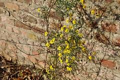 Mauerblmchen - Explore Nov 26 2016 # 142 (mama knipst!) Tags: wildblumen wildflower blume flower fleur november