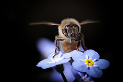 Just landed..... (flying-leap) Tags: newzealand canon canon60d 60d tamron90mmmacro macro tamron nz spring the4seasons 4spring nature honeybee bee insect
