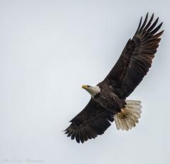 _DSC4930-Edit (alan.forshee) Tags: bald eagle red tailed hawk raptor bird prey predator hunt fish fly soar flight feather sky