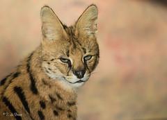 2016-11-24-0316 (BZD1) Tags: animal mammal nature serval chordata mammalia carnivore carnivora felinae leptailurus leptailurusserval diergaardeblijdorp