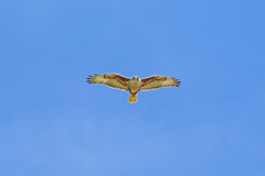 Ferruginous Hawk, Odessa, Lincoln, Washington State (Terathopius) Tags: washingtonstate usa ferruginoushawk odessa lincolncounty buteoregalis