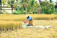 A woman at paddy field (Ormastudios) Tags: bali paddyfield nature lady paddy harvest