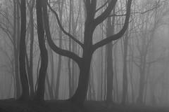 lyre (Mindaugas Buivydas) Tags: lietuva lithuania tree trees bw fog mist march spring klaipda klaipeda morning morninglight sadnature mood moody dark darkness darkforest