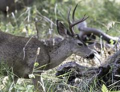 Sultry Eyed Buck (dcnelson1898) Tags: yosemitenationalpark california sierranevadamountains nationalpark nationalparkservice nps mountains mercedriver granite glacier deer buck mammal