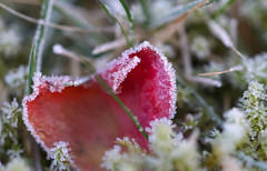 Frozen rose petal (serge.vermeersch) Tags: sony minolta 50 50mm macro a77ii cold ice frost ijs kou winter petal rose roos bloem flower bloemblad