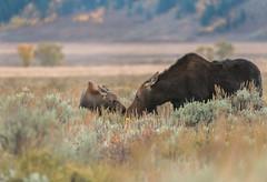 Motherly love (greggohanian) Tags: grandtetons tetons moose foliage autumn wildlife