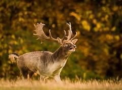 Damhirsch (Nature_77) Tags: damhirsch geweih damadama herbst autumn schaufelgeweih stirnwaffentrger pecora cervidae echtehirsche wildundwanderparksilz silz