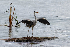 _F0A9775.jpg (Kico Lopez) Tags: ardeacinerea galicia garzareal lugo mio spain aves birds rio mio