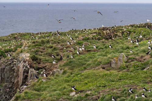 Puffins at Elliston 12
