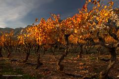 La danse d'automne (Dominique Dumont Willette) Tags: vigne ceps arbres automne feuillage champs paca bouchesdurhône aixenprovence saintevictoire ciel bleu soleil