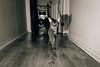 Luke (Katherine Ridgley) Tags: cat felis feliscatus felissilvestriscatus felidae carnivore carnivora mammal mammalia animal animalia pet cute purebred purebreed purebredcat abyssinian abyssiniancat ruddyabyssinian ruddy usualabyssinian usual maleabyssinian malecat domesticcat monochrome
