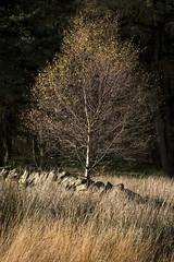 Autumn textures (Keartona) Tags: autumn landscape hayfield peakdistrict derbyshire england english beautiful october hills countryside textures grasses silverbirch drystone wall grass
