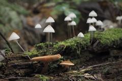 Paddenstoelen (Gerrit Veldman) Tags: paddestoelen mushrooms fungi bos forest herfst autumn natuur nature waterloopbos kraggenburg noordoostpolder flevoland nederland netherlands natuurmonumenten olympus epl7
