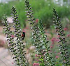 937_bewerkt-1 (savare) Tags: southafrica zuidafrika acanthus southern doublecollared sunbird