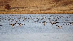 Incoming! (chhavz04) Tags: geese independencegrove flight sonya33 sonydslr birds