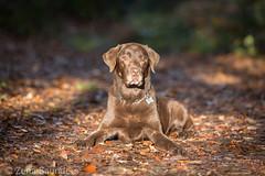 Happy Birthday Chip. 12 today  (Zena Saunders) Tags: labradorretriever chip dog dogphotography november2016 chocolate dogs lab labrador pet