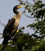 Indian Cormorant (RRJOIS) Tags: indiancormorant birdphotogrpahy indianbirds mysore ranganthittu ranganthittubirdsanctuary birding karnataka indianphotographers wildlife