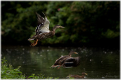 Flying Ducks (Palmius Photo) Tags: flyingducks ducks duck ankor nature flying wildlife