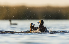 Oxyura vittata (Fede Burgos Bauer) Tags: aves birds lagoon lake laguna water fight pelea patos duck