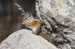 Colorado Chipmunk (Tamias quadrivittatus); Santa Fe National Forest, NM, Thompson Ridge [Lou Feltz] (deserttoad) Tags: nature newmexico animal rodent mammal fauna squirrel chipmunk behavior nationalforest mountain
