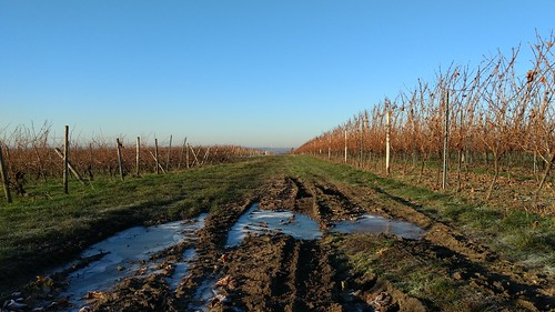 Reif und Frost in den Weinbergen